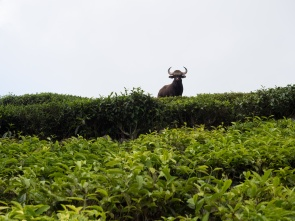 A Wild Gaur. One of the few times I wish I had more reach with my zoom.